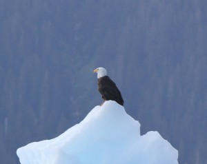 Close up of a bald eagle on a iceberg